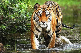 Tiger Safari in Bandhavgarh