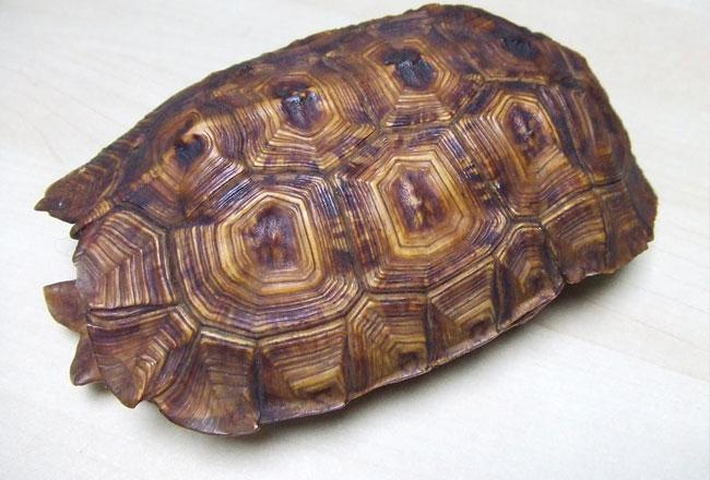 Tortoise shell craft