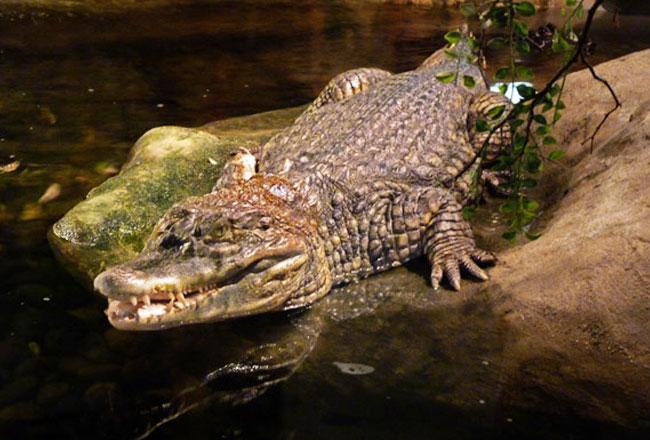Crocodile watching mandovi rivers