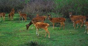 Cheetal bandipur national park