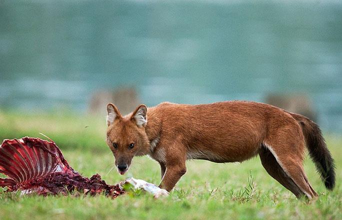 Kabini wilddog kill