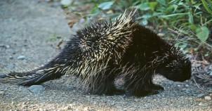 Kudremukh national park porcupine
