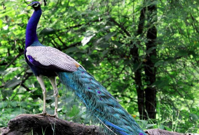 Madhav national park peacock