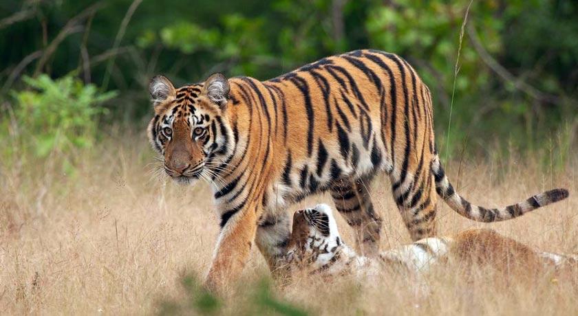 Tadoba-Wildlife