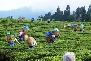 Tea Garden Darjeeling