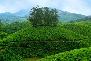 Munnar Tea Plantations