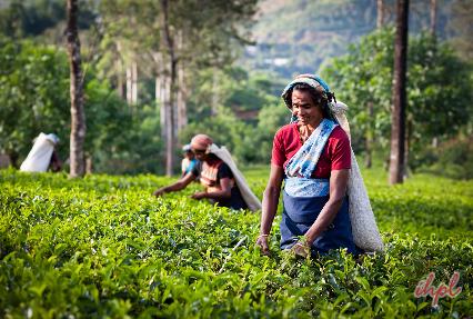 dambulla spice garden Sri Lanka