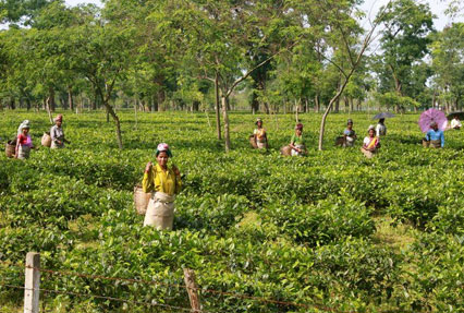 tea gardens of assam