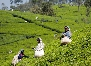 tea plantation Nuwara Eliya