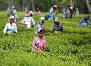tea gardens of assam