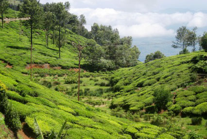 tea estates of Ooty