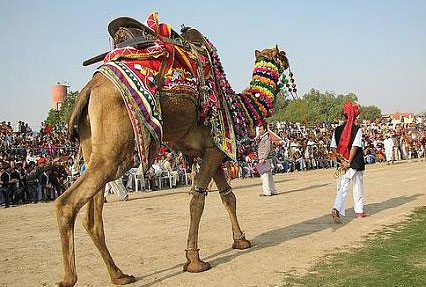 ladera camel festival bikaner