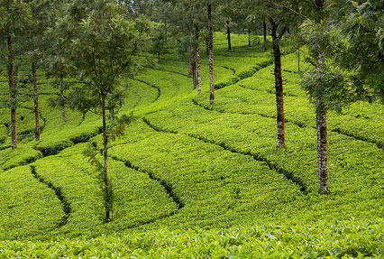 Tea Plantation in Munnar Kerala