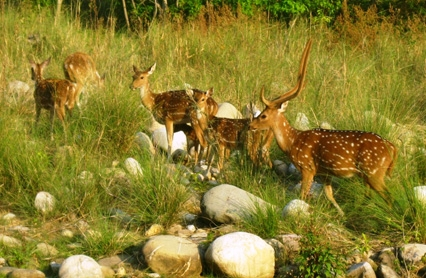 Deer in jim corbett