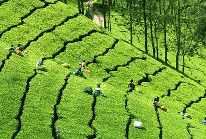 tours to tea estates