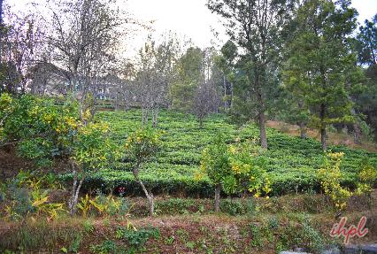 Tea Garden Kausani