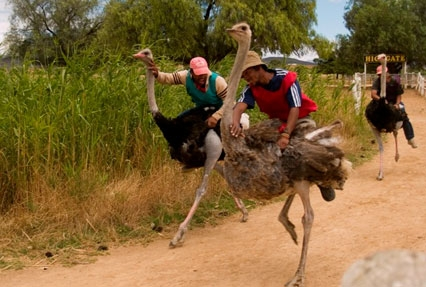 Ostrich Farm in the Oudtshoor town