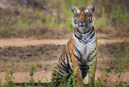 Tiger at Corbett