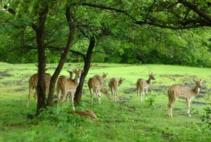 cheetal in gir