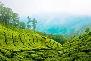 Tea gardens in Munnar