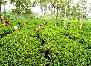tea estate in Guwahati