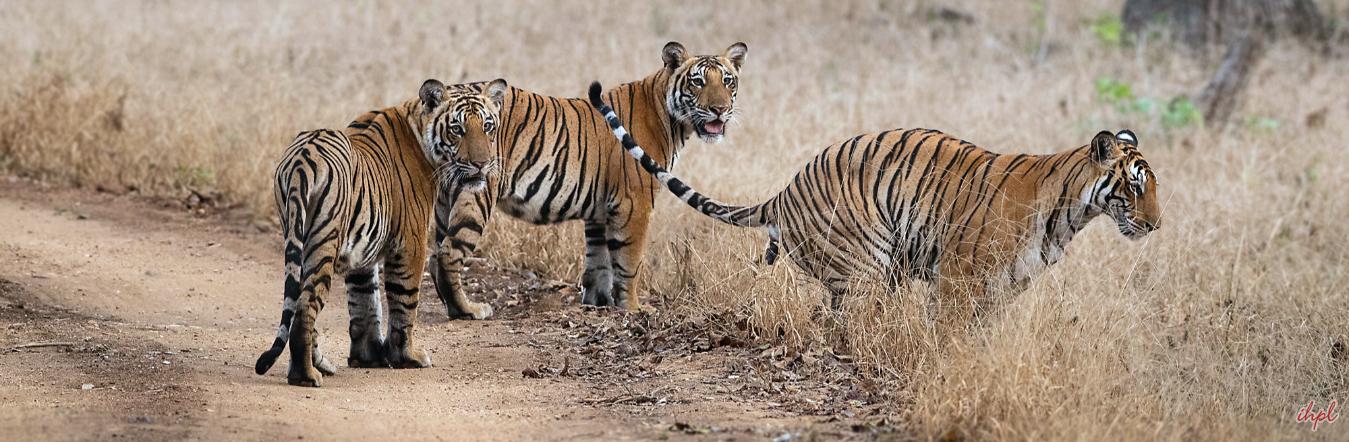 tiger nagarhole national park