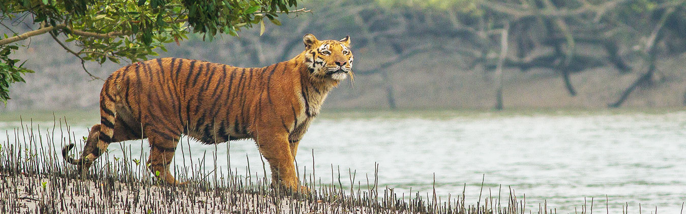 tiger at sundarban