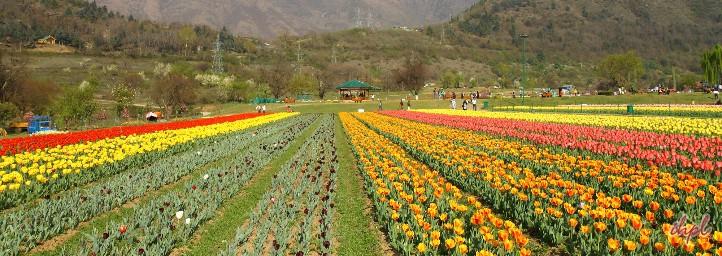 Tulip Festival, festival in jammu & kashmir
