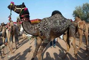 Nagaur cattle Fair in Nagpur, Rajasthan