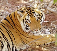 tiger in ranthambore park